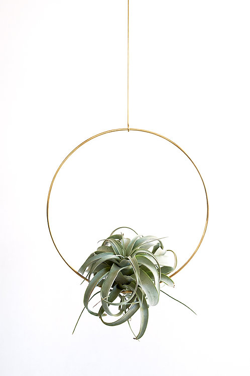 Ring S + air plant