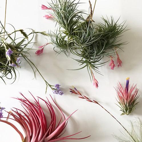7 pcs mix of flowering air plants