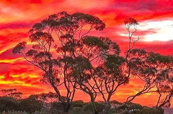 Eucalyptus Sunset.jpg