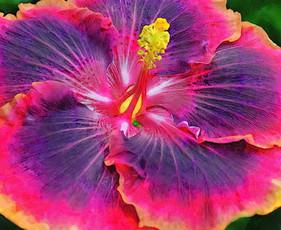 Multi-Color Hibiscus