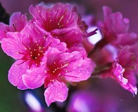Cherry Blossoms Flowers - Sakura.jpg