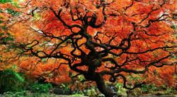 Japanese Maple Tree of Life