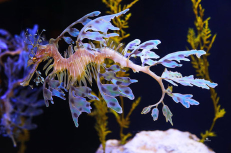 Leafy Sea Dragon - Seahorse.jpg