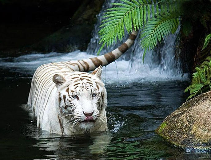 Datos Curiosos Del Tigre De Bengala