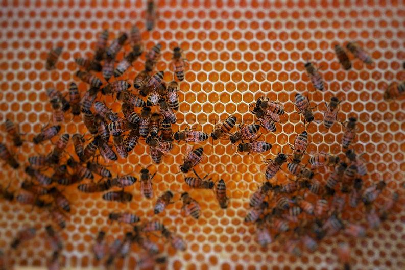 דבורים בחלה.jpeg