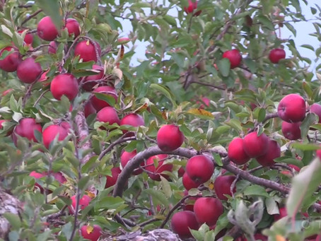 Calgary cider house sourcing local fruit in effort to turn city into craft cider mecca
