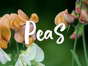 Les personnages: Peas