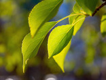 Green Leaves on a Tree - 17.jpg