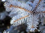 Blue Spruce Branch - 03.jpg