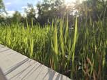 Grass near the House.jpg