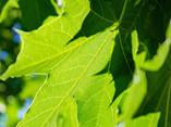 Green Leaves on a Tree - 13.jpg