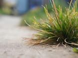 Bush of grass (Elymus elymoides) - 01.jpg