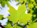 Green Leaves on a Tree - 10.jpg