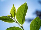 Green Leaves on a Tree - 04.jpg
