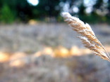 An Ear of Wheat on a Blurry Background.jpg