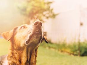 Santa Dica | Como cuidar de cães idosos
