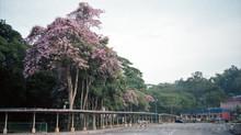 """""""Springtime"""" in Kuala Lumpur: The Penang Sakura"""