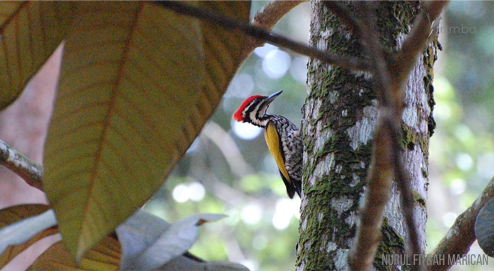 Woodpecker_commonflame.png