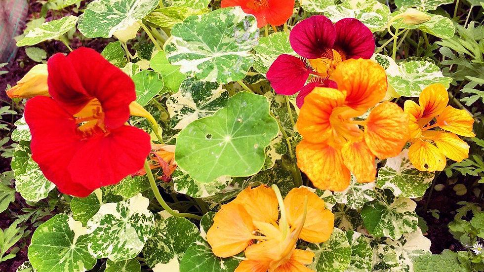 Oost Indische kers mix bloem + blad