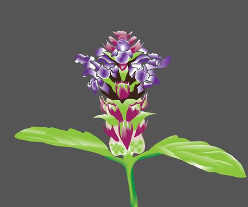 Self-heal-flower-Drawing.jpg