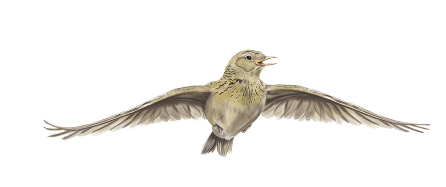 Skylark-Drawing.jpg