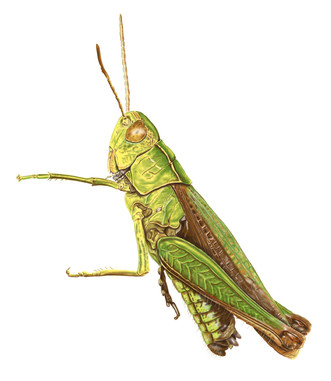 Common-Green-Grasshopper-Drawing.jpg