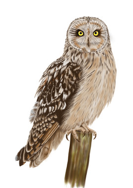Short-eared-owl-Drawing.jpg