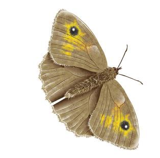Butterfiy-1-Drawing.jpg