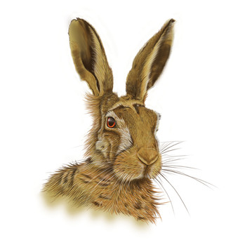 Brown-hare-Drawing.jpg