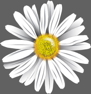 Ox-eye-daisy-Drawing.jpg