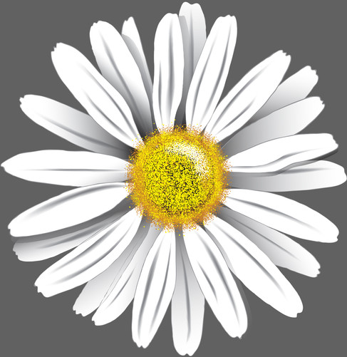 Ox-eye-daisy-Drawing.jpg