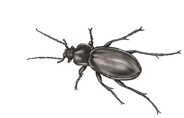 Beetle-Darwing.jpg