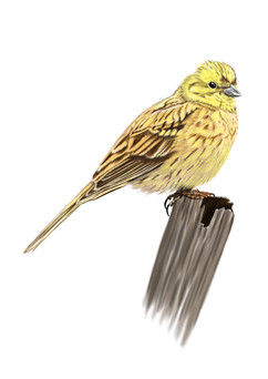 Yellowhammer-Drawing.jpg