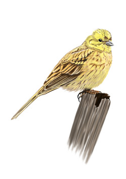 Yellowhammer-Drawing.jpg