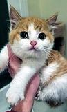 calico mama orange_white sh sick kitten.