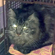 Izzy - Maine Coon rescued from garage