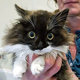 black_white kitten_lh.jpg