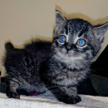 Maine Coon kitten rescue