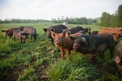 SPRING-LAKE-FARM-PIGS-11