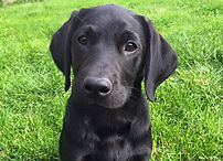 RoughCorner Labradors  - Field Trial, Arbeitsline, Labrador Welpen