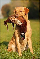 RoughCorner Labrador Jagdhund