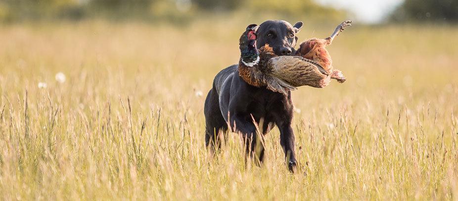 Ragweed´s First RoughCorner  - Field Trial, Arbeitsline, Labrador Welpen