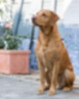 Fendawood Fogarty @ RoughCorner Labradors  - Field Trial, Arbeitsline, Labrador Welpen