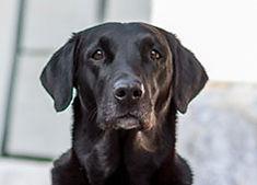 Ragweed´s First RoughCorner Labrador