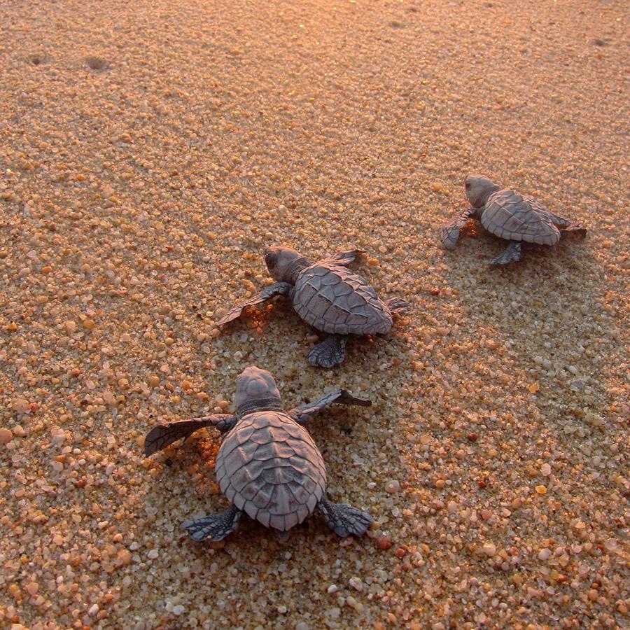 gallery_sea_turtle_hatchlings_sand