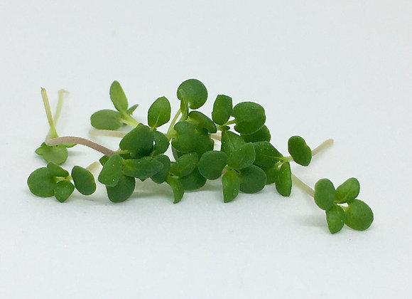 Summer Savory Microgreens