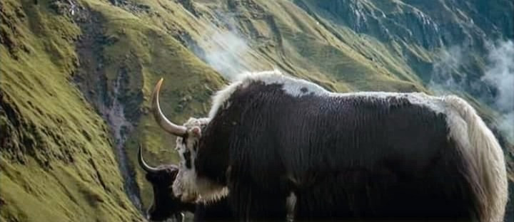 Yak on the Himalayas Foothill