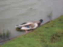 dead duck.png
