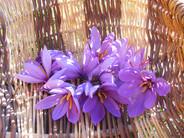 Fleurs de Safran Corrèze