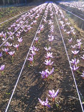 Safran en fleur Corrèze